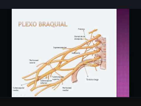 PLEXO BRAQUIAL 1 (CONSTITUCION)