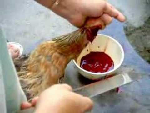 Girls Slaughter Chicken Video http://www.blingcheese.com/videos/1/woman+killing+chicken.htm