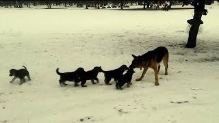 Daddy German Shepherd Plays With His Kids! SO CUTE!!