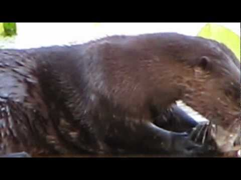 Otter eating a fish on Lake Palestine