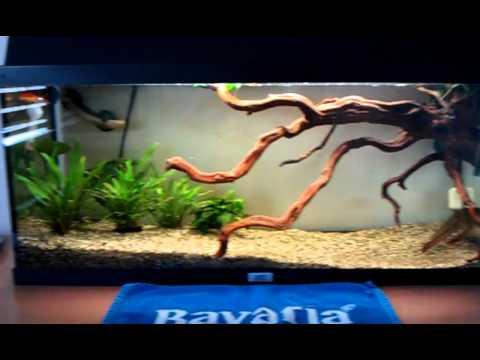 snakehead fish feeding goldfish eindhoven