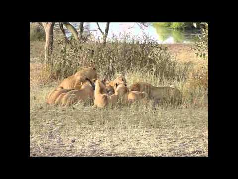 Lion Attacks And Kills A Zebra video