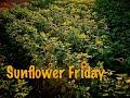 Drone Flight: Sunflower Field (Shamong, NJ)