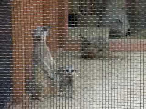 埼玉県こども動物自然公園のミーアキャットの子供 meerkat
