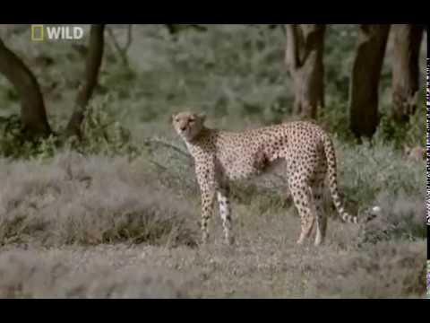Cheetahs: Against All Odds