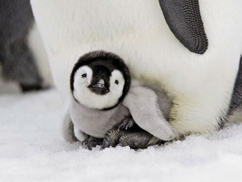 Astounding Emperor Penguins