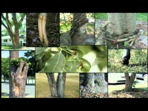 How to Identify an Ash Tree, EAB, & Signs of Infestation.wmv