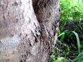 ヒグラシの声① 蝉 Sounds of Cicada