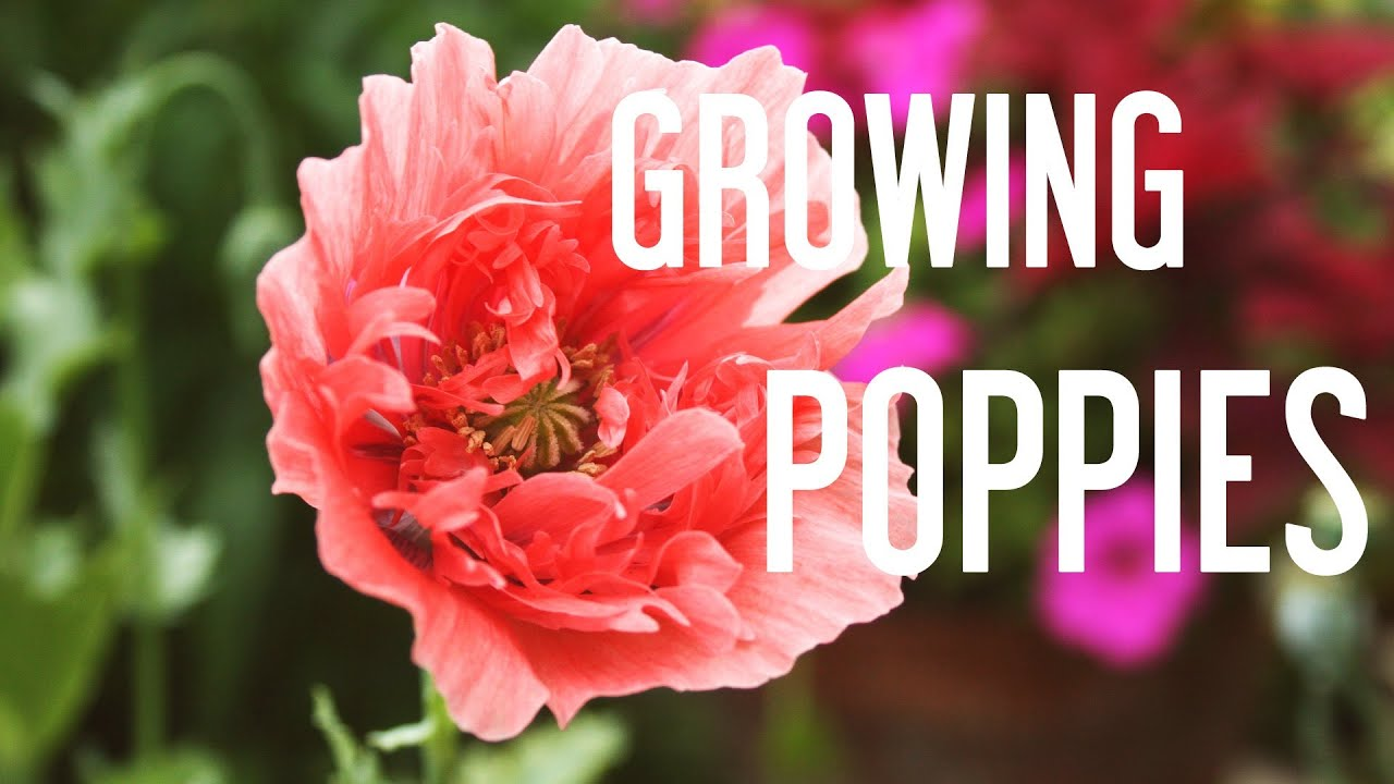 how to grow poppies from seeds youtube. Black Bedroom Furniture Sets. Home Design Ideas