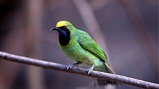 Cara Menangkap Burung Cucak Hijau Sumatera Barat