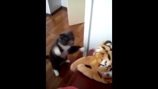 Cat really hates tiger