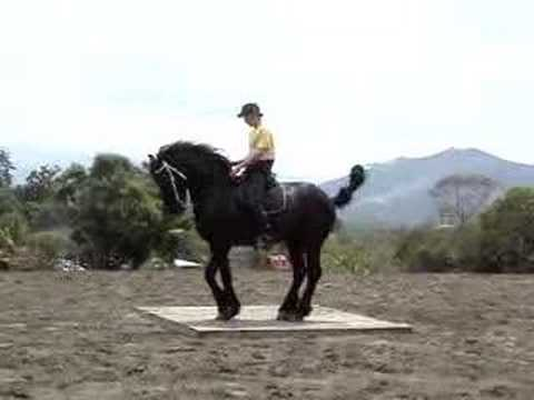 Dancing Friesian Stallion in Costa Rica