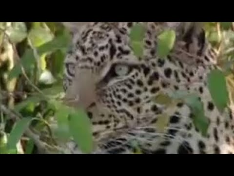 Leopard vs hippo - BBC wildlife