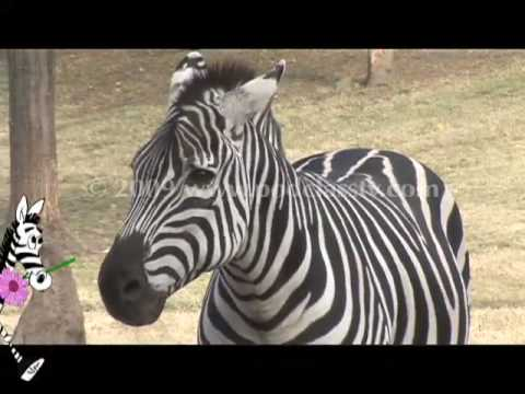 Why don't we ride zebras? Episode 1