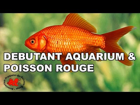Poisson rouge videolike for Kh aquarium poisson rouge