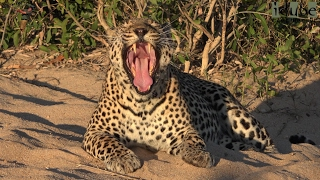 Male Leopard Roaring