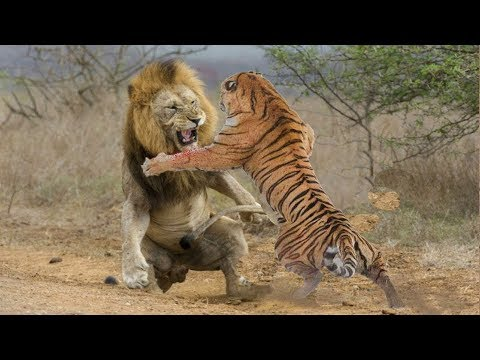 ЛЕВ В ДЕЛЕ! Львы против крокодила, гиен, буйволов...
