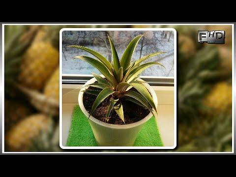 Как вырастить ананас из верхушки в домашних условиях - (ч.2)