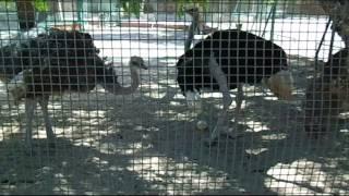 نعامة تبيض فى حديقة الحيوان بالاسكندرية