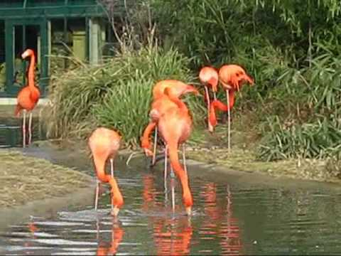 American/Caribbean Flamingos, Zoo Vienna Video