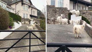 Goat Herd Overrun Quiet Welsh Town