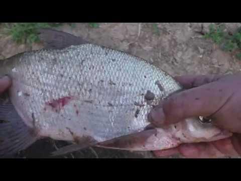 Ловля леща на фидер на реке в сентябре. Ловля леща на фидер на течении