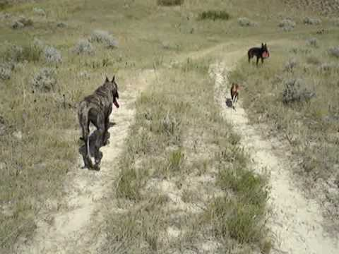 A walk with our pack Video