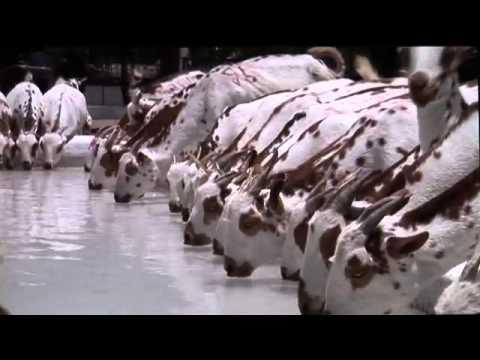 Goats Production