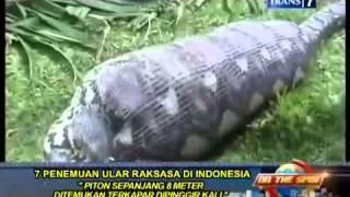 new on the spot   7 penangkapan ular raksasa di indonesia di pinggir sungai