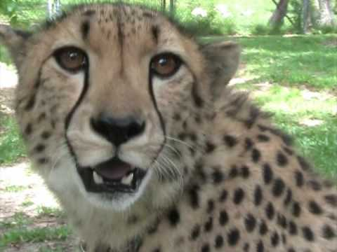 Have you heard a cheetah purr?