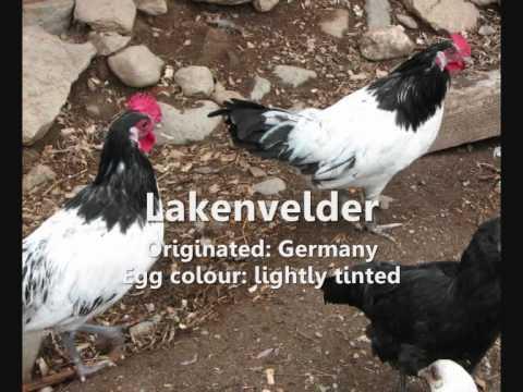 Guide to Chicken Breeds
