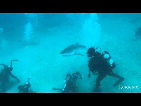 Tiger Shark Nose Rub