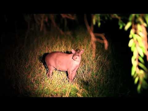Tapir in the Pantanal - Projeto Onçafari