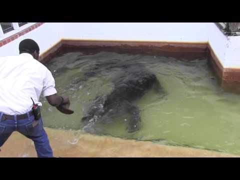 Inside the Habitat of One of the Biggest Alligators in Captivity