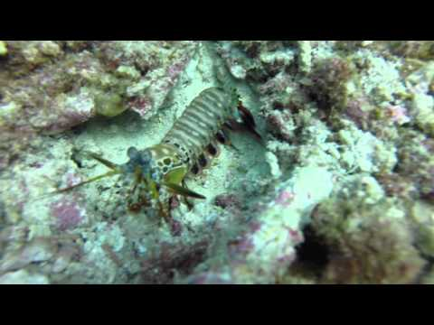 The Boxing Mantis Shrimp