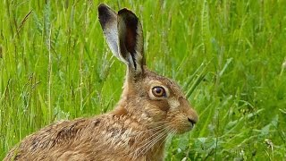 Close Encounter with a Brown Hare