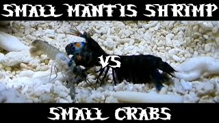 Small Smasher Mantis Shrimp VS Small Crabs