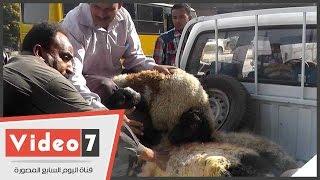 بالفيديو..حملة أمنية ترفع حظائر «خرفان» من شارع البحر الأعظم