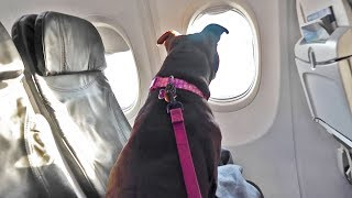 Taking My Pitbull On An Airplane