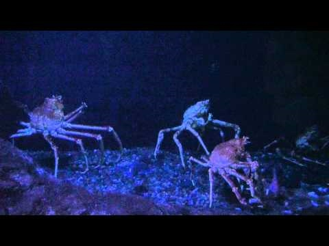 World's Largest Crab Species Japanese Spider Crab Oregon Coast ...