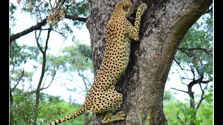 Tree climbing Cheetah on Albasini road in Kruger Park