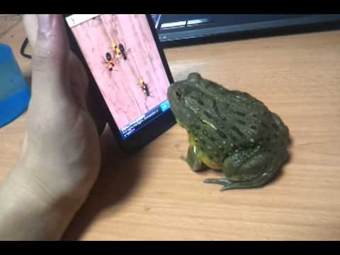 Une grenouille qui joue  une jeu vido Ant Smasher sur smartphone Android