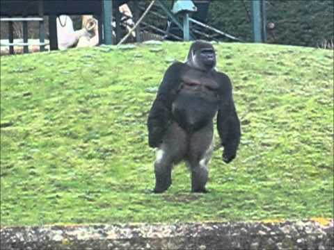Gorilla standing up - photo#13