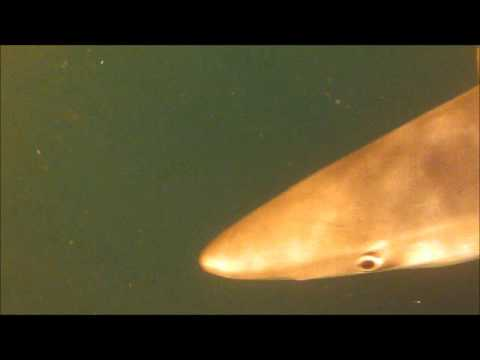 Big Bermagui Blue shark Underwater on GoPro with flat lens