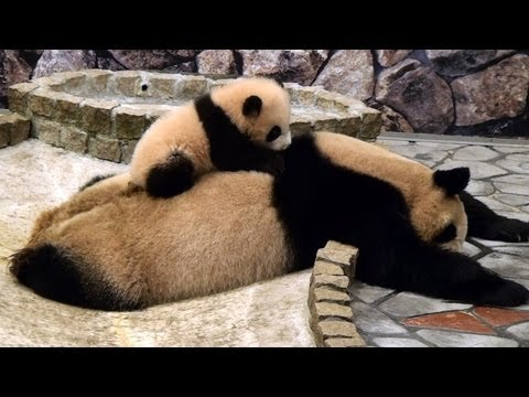 panda baby on her Mom    
