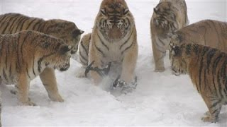 Tigers Snatch Drone From the Sky