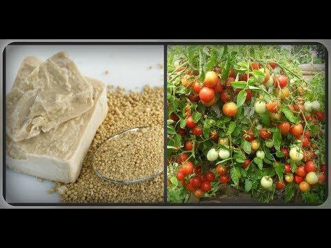 """Выращивание """"увлажненных"""" огурцов и томатов на дрожжах (Самарская область)"""