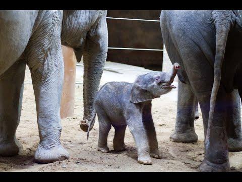 Elefanten-Jungtier entwickelt sich bislang gut - Das Elefantenhaus ist wieder geöffnet