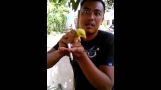 Makan ayam hidup''