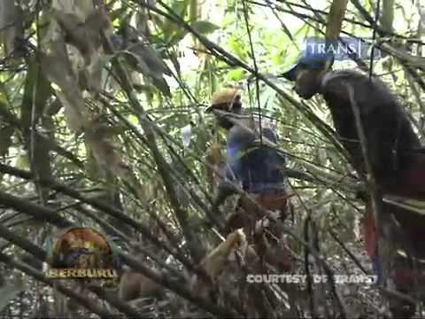 Deer hunting at papua INDONESIA/ BERBURU PAPUA RUSA SEG 2.m4v